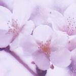 磨りガラス越しのような朧げな桜