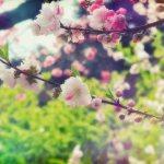 【高解像度】たくさん花を付ける源平桃(3パターン)