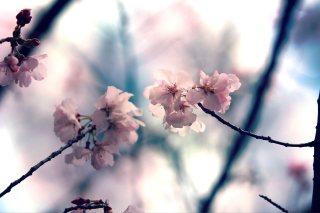 【高解像度】二輪の桜(3パターン)