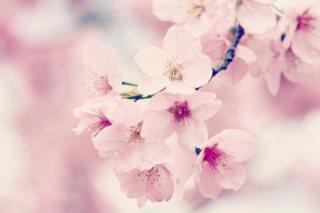 【高解像度】枝先に咲く桜(3パターン)