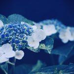 【高解像度】青の中の紫陽花(アジサイ)(3パターン)