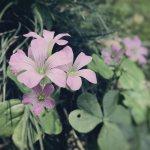 【高解像度】野に咲く紫片喰(ムラサキカタバミ)
