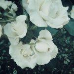 【高解像度】退屈そうな白薔薇