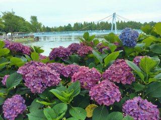 【高解像度】紫陽花と青い橋