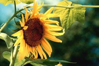【高解像度】緑の中の向日葵(ヒマワリ)(3パターン)