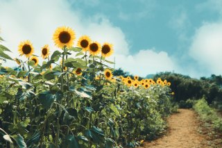 【高解像度】向日葵の小径(3パターン)
