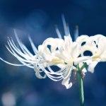 【高解像度】一輪の白い彼岸花(3パターン)