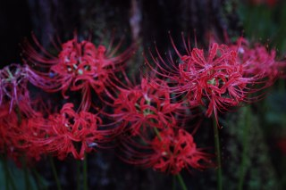 【高解像度】木の根元に咲く彼岸花(3パターン)