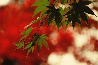 【高解像度】紅葉と青もみじ(3パターン)