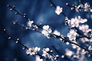 【高解像度】枝を伸ばす白梅(3パターン)