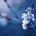 【高解像度】ひと枝の十月桜(ジュウガツザクラ)(3パターン)