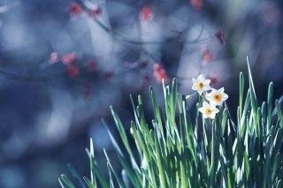 【高解像度】枯れ枝と日本水仙(ニホンズイセン)(3パターン)