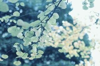【高解像度】光に透ける桂(カツラ)の葉(3パターン)