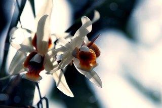 【高解像度】光に透ける蘭(ラン)(3パターン)