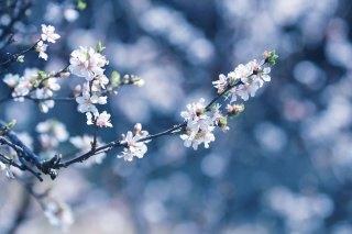 【高解像度】伸びやかな山桜桃梅(ユスラウメ)(3パターン)