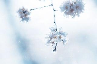 【高解像度】消え入りそうな桜(3パターン)