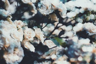 【高解像度】咲き乱れる白薔薇(バラ)(3パターン)