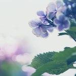 【高解像度】しっとりした紫陽花(アジサイ)(3パターン)