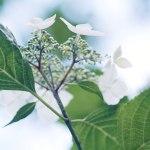 【高解像度】下から見上げる紫陽花(アジサイ)(3パターン)
