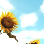 【高解像度】青空と向日葵(ヒマワリ)(2パターン)