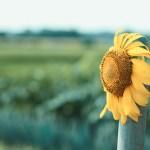 【高解像度】景色を眺めているような向日葵(ヒマワリ)(3パターン)