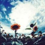 【高解像度】夏空と一面の向日葵(ヒマワリ)(3パターン)