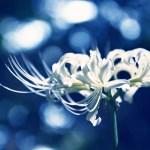 【高解像度】白い彼岸花(3パターン)