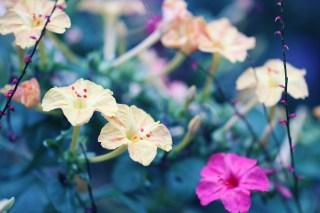 【高解像度】鮮やかな白粉花(オシロイバナ)(3パターン)
