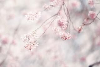 【高解像度】おぼろげな枝垂れ桜(シダレザクラ)(3パターン)