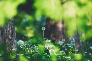 【高解像度】森の中の蒲公英の綿毛(タンポポ)(3パターン)