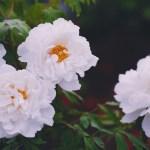 【高解像度】白い牡丹(ボタン)(3パターン)