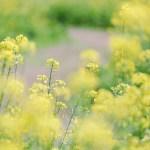 【高解像度】菜の花の小道(ナノハナ)(3パターン)