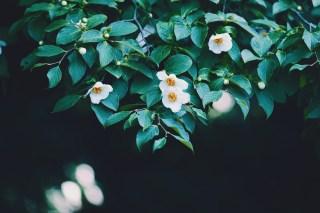 【高解像度】溢れる光と夏椿(ナツツバキ)(3パターン)