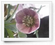 peper-curl-flower010
