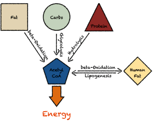 GlucoseCycle