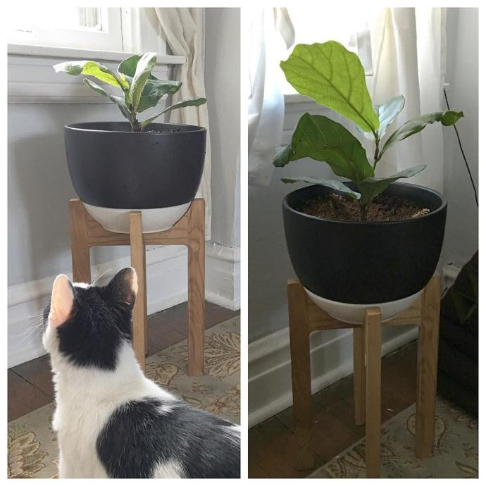 Our fiddle leaf fig must be happy in the newhellip