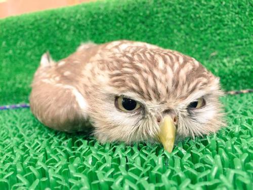 フクロウの画像 p1_32