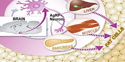 agrp-neurons-fat-cells