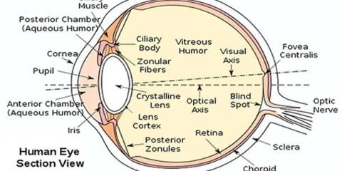 human-eye-diagram-public