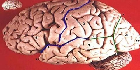 large-brain-small-brain