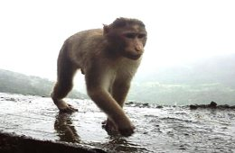 rhesus-monkey-public