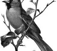This is a pencil drawing of a cardinal singing.