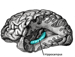 The illustration shows the hippocampus in the brain.