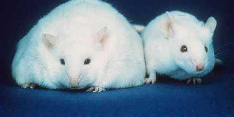 The image shows an obese mouse next to a mouse of normal weight.