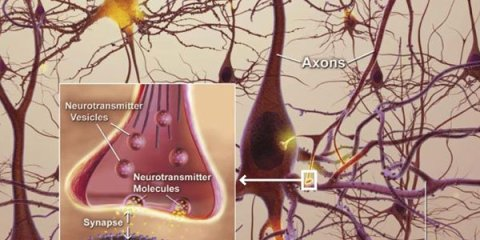 The image shows a diagram of neurons and an insert which shows how a synapse works.
