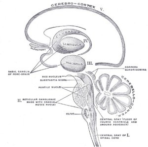This is a diagram of the cerebral cortex with the thalamus labeled.