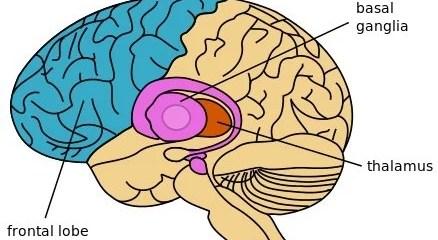 The diagram of the brain shown highlights the thalamus locato
