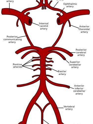 The image shows a schematic representation of the circle of Willis.