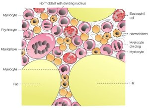 The image shows the different bone marrow cells.