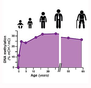This graph shows the percentage of DNA methylation during different ages.